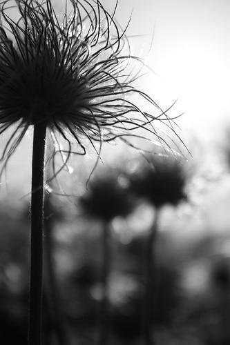 photo naturaliste documentaire fleur plante Anémones pulsatilles