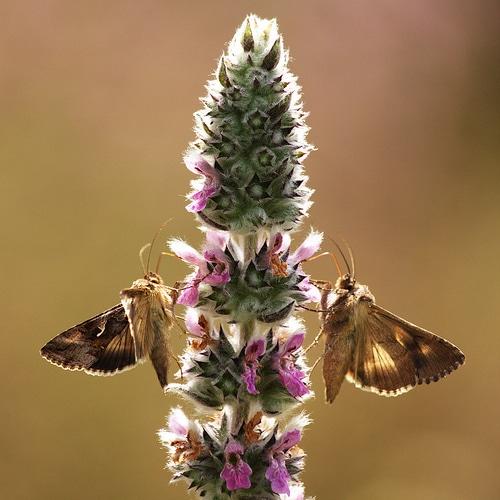 photo naturaliste documentaire papillons Gammas jumeaux