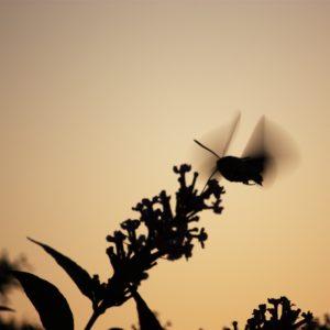 Photo silhouette Moro sphinx crépuscule