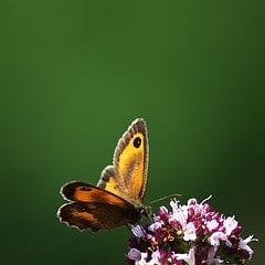 Amaryllis photo papillon flou arrière plan