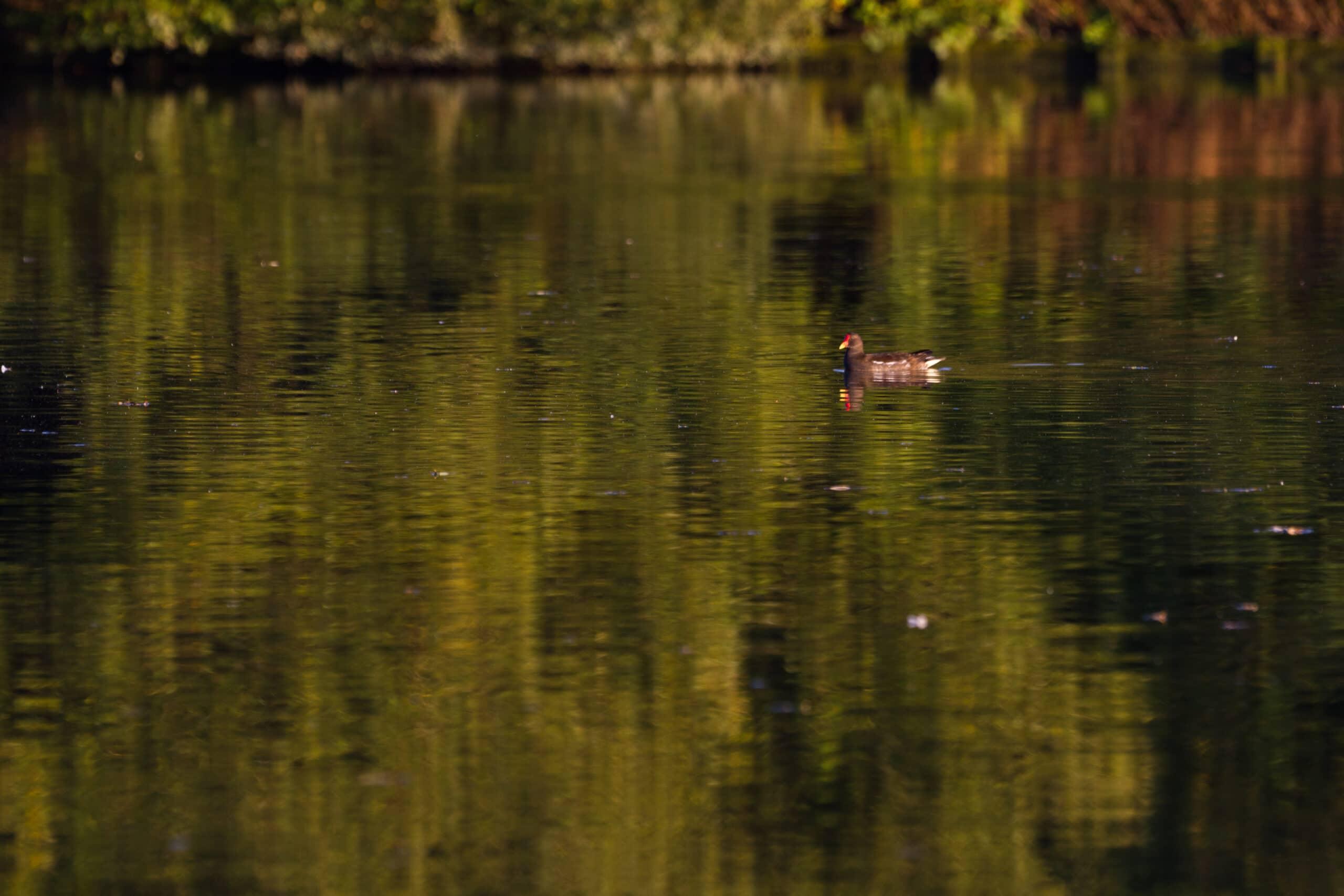 test sigma objectif animal photo nature oiseau lac