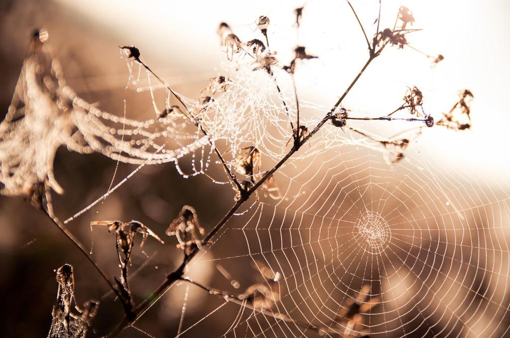 Goutelettes de rosée matinale sur toile araignée
