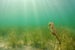 Hippocampe étang de Thau photo sous marine