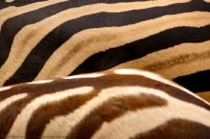photo nature zèbre rayures pelage