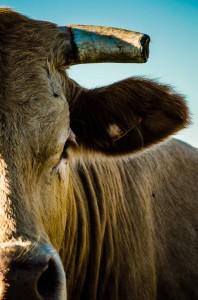 Photo vache corne profil