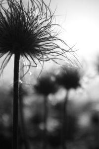 photo fleur noir et blanc silhouette