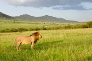photo lion cadrage large paysage