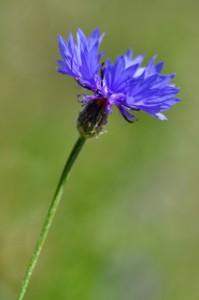 photo fleur bleue ligne directrice