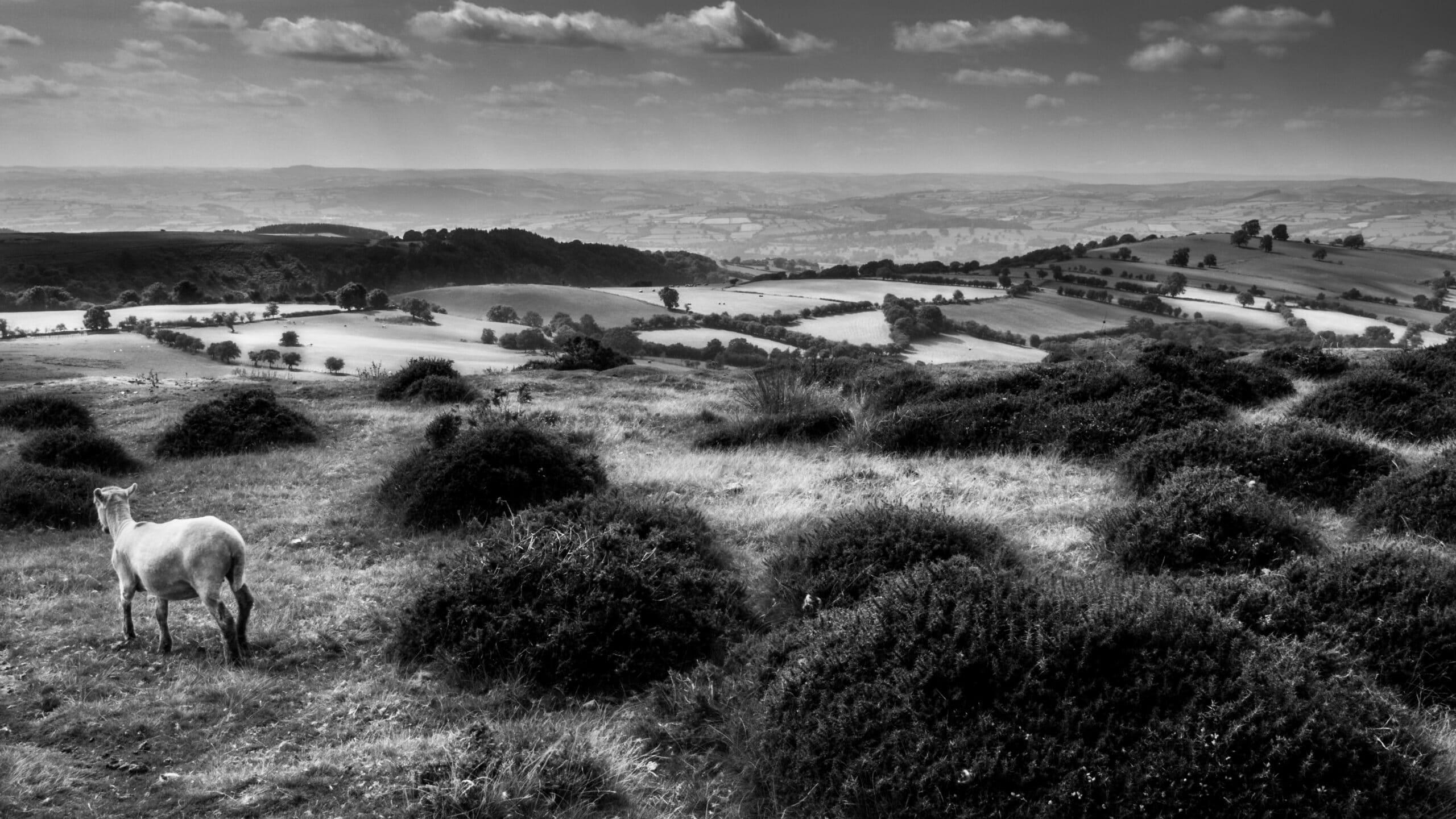 photo chèvre paysage plaine champs contraste dodge & burn photo noir et blanc lightroom