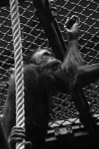 zoo singe noir et blanc regard