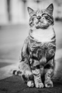 photo chat noir et blanc regard
