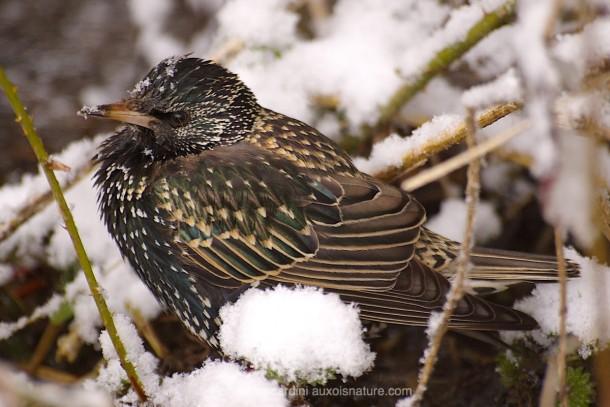 Etourneau Sansonnet photo animalière oiseau