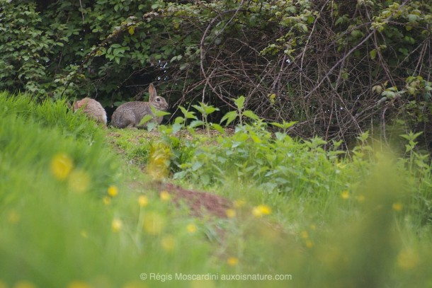 PHOTO animalière lapin arrière-plan