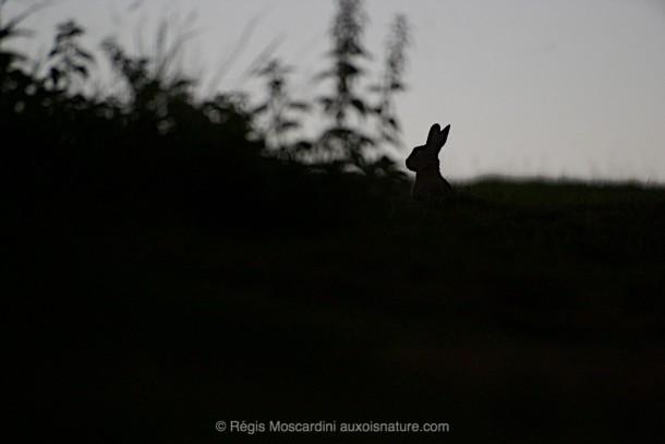 Photo animalière lapin silhouette