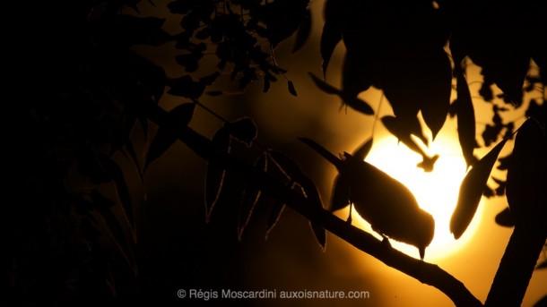 PHOTO animalière oiseau contre jour golden hour