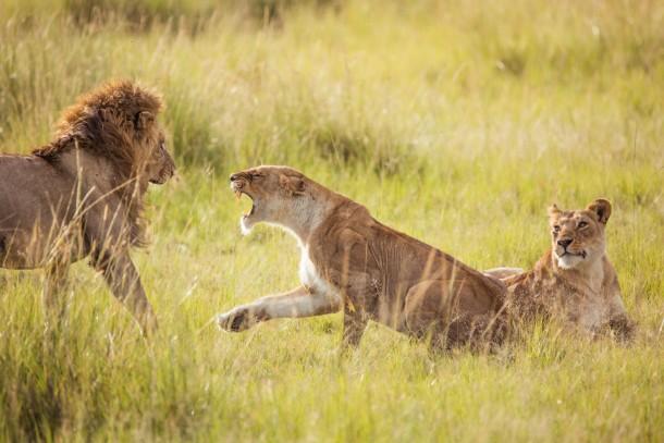 Photo safari Kenya lion lionne savane