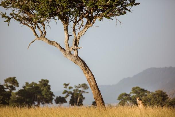 Photo Kenya savane safari léopard arbre
