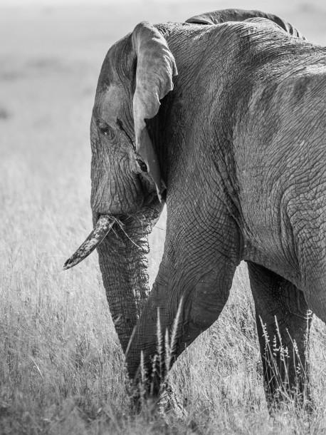 éléphant Photo Kenya savane safari noir et blanc