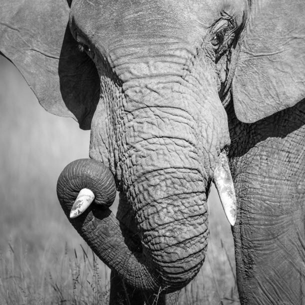 Cadrage serré portrait peau éléphant Photo Kenya savane safari noir et blanc