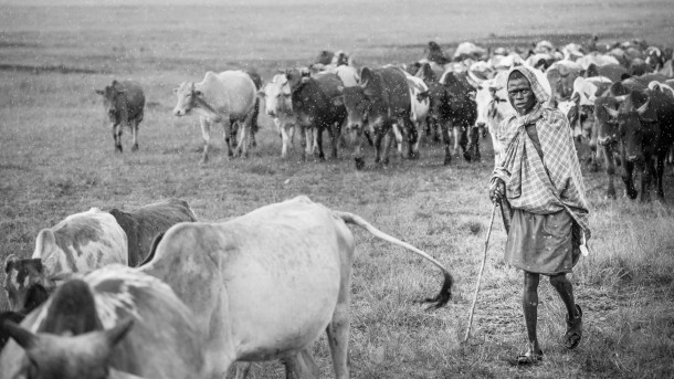 photo kenya safari troupeau berger savane vaches robe Masai noir et blanc