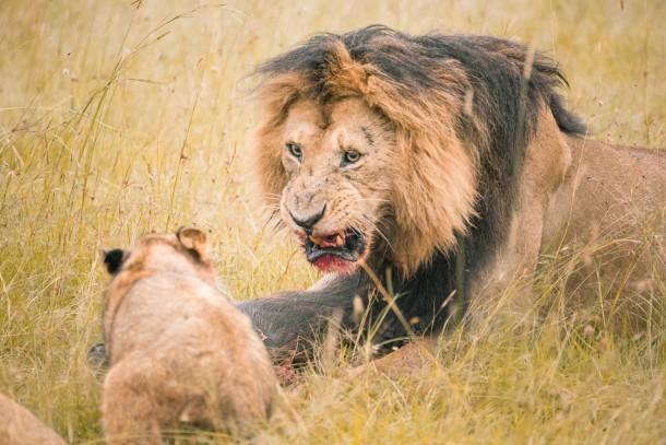 Photo Kenya safari lion sang