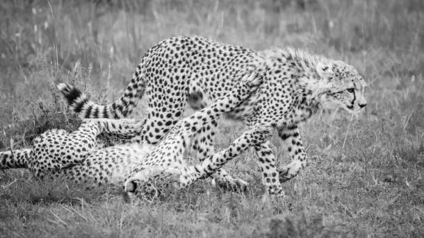 jeunes guépards Kenya savane safari photo
