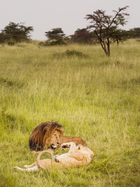 Photo Kenya savane safari lion lionne couple 150mm