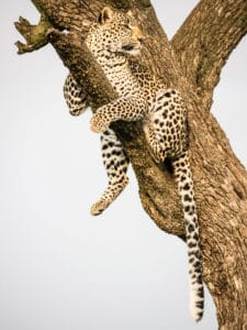 Photo safari Kenya léopard arbre