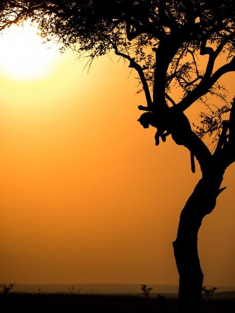 léopard Photo Kenya savane safari coucher de soleil golden hour arbre