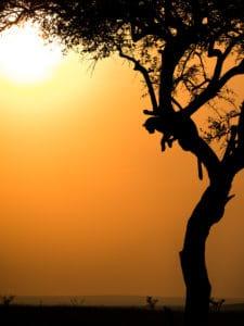 Photo safari Kenya léopard arbre coucher de soleil golden hour