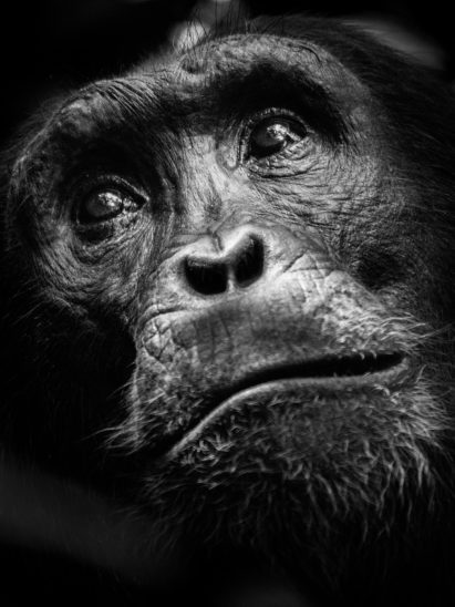photo portrait noir et blanc chimpanzé