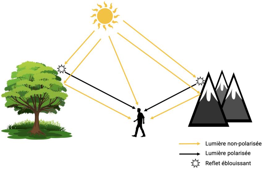 Schéma expliquant le principe de la lumière polarisée