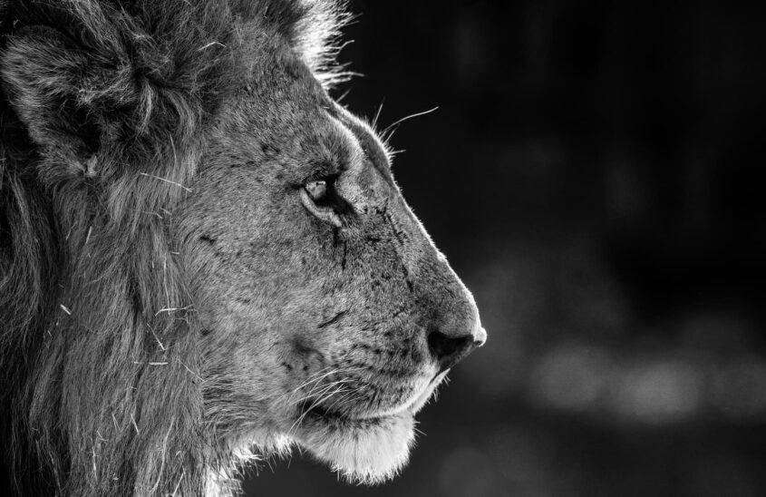 Portrait lion avec bokeh soyeux